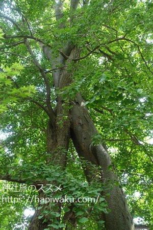 重蔵神社の御神木