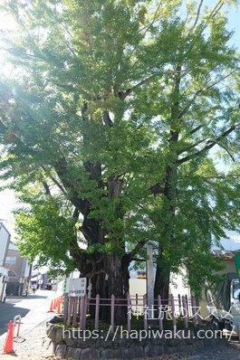 津島神社の御神木