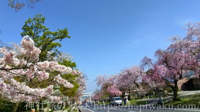 日吉大社の桜